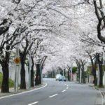 あざみ野の桜並木